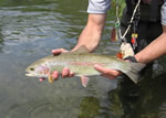 Montana Rainbow Trout Fly Fishing