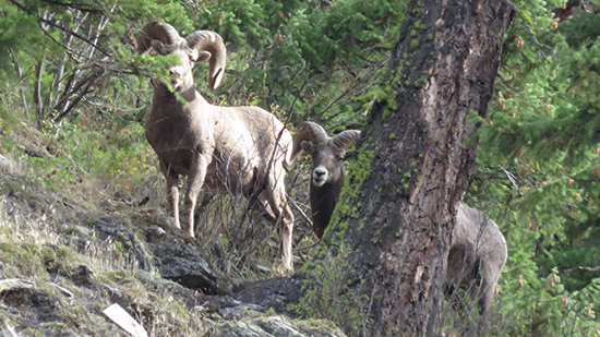 Big Horn Sheep Montana